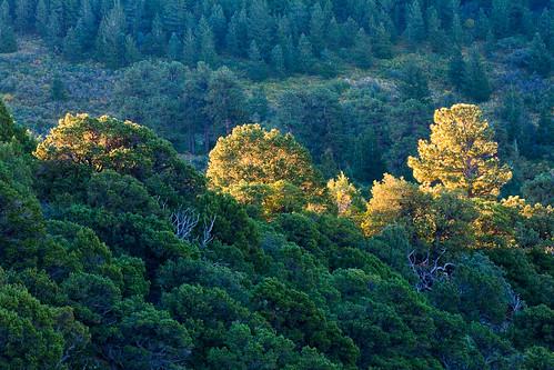 morning autumn trees mountains green forest sunrise flora colorado unitedstates rockymountains ridgway sanjuannationalforest uncompahgrenationalforest