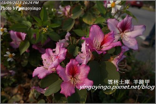 雲林土庫_羊蹄甲20130309_DSC00215