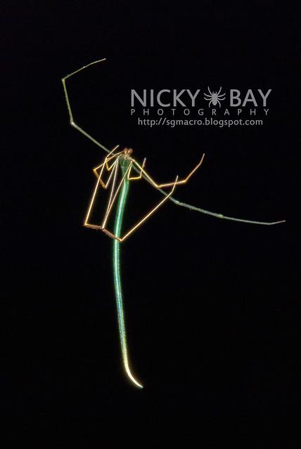 Twig Spider (Ariamnes sp.) - DSC_5935