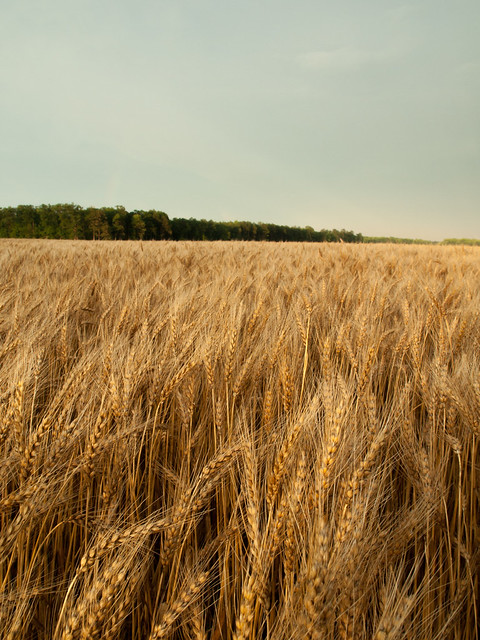 wheat color technology