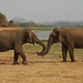 Asian Elephants, Minneriya National Park (Tom Mills)