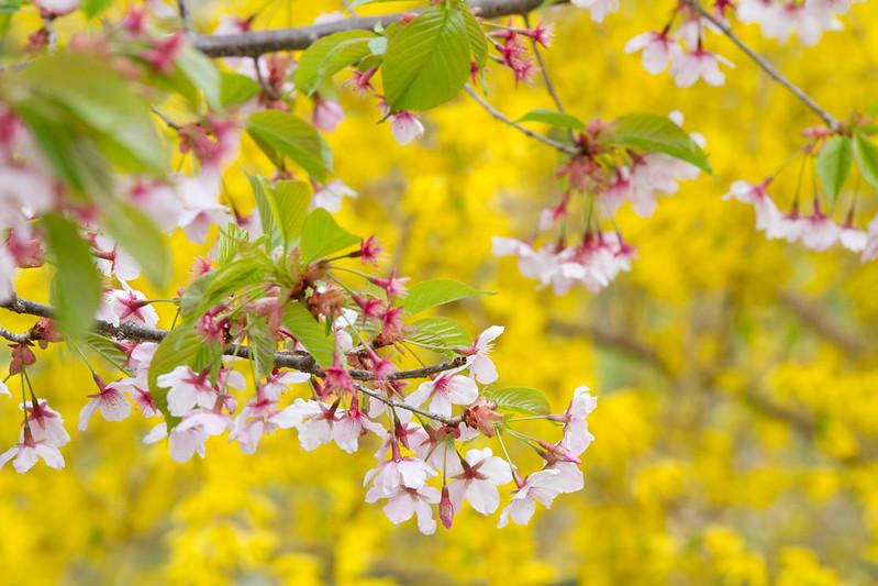 Sakura in Kyoto 26