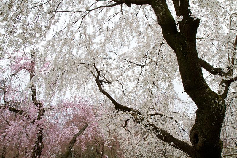 Sakura in Kyoto 40