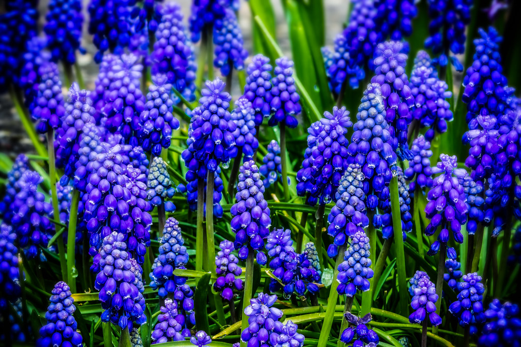 Purple Grape Hyacinth Early Spring Flower It S A Lovely Flickr