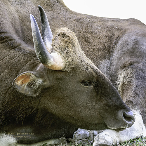 zoo florida miami metrozoo gaur gayal miamimetrozoo mithun indiangaur seladang pyoung zoomiami gaurindian