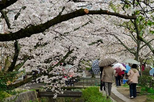 Philosopher's Walk in Kyoto, with Sakura