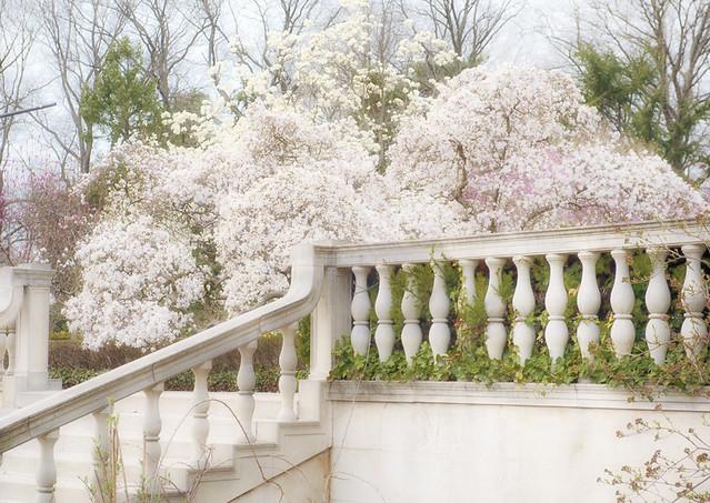 Flowering Magnolia trees at Brooklyn Botanic Garden, Brooklyn, NY