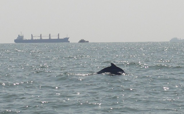 Indo Pacific Humpback Dolphin