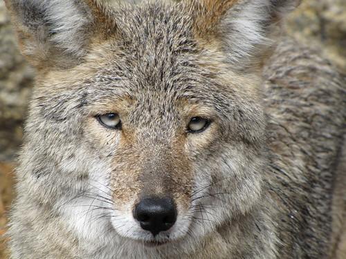 IMG_4175_Coyote_Yosemite_NP
