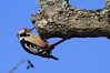 Middle-spotted Woodpecker Dendrocopos medius