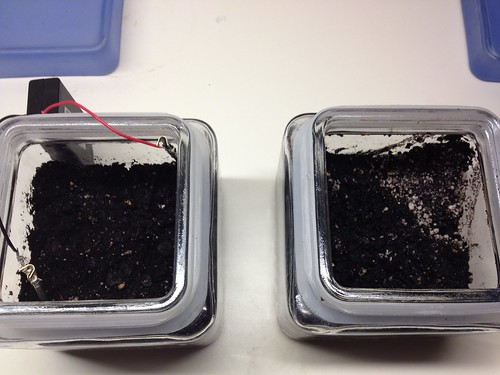 Sowed Seeds in Sunflower+ Electroculture Experiment