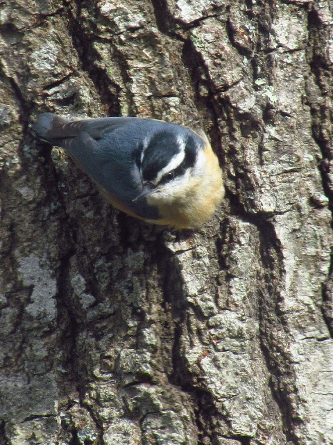 Red-breasted Nuthatch 4:15:13