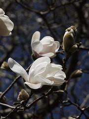土, 2013-04-06 11:02 - ブルックリン植物園