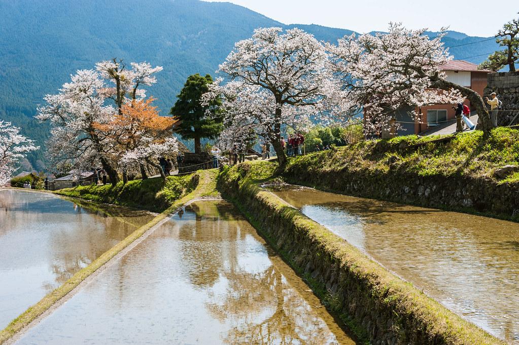 Mitake no sakura