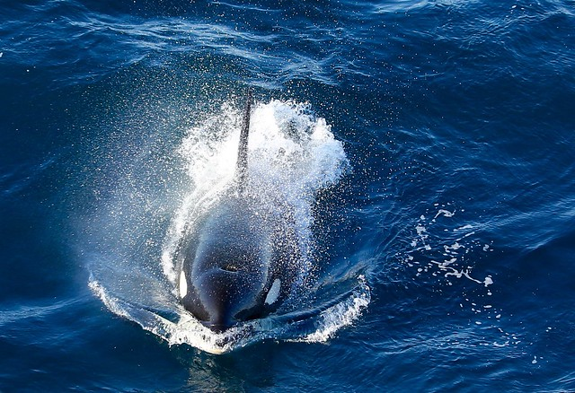 Huge Male Orca on the Hunt Lancaster Sound Arctic Canada