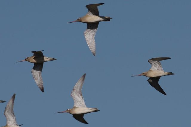 IMGP5362 Bar-tailed Godwits