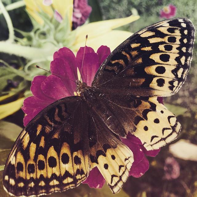 Great Spangled Fritillary #butterflies #butterfly gardens #patiogarden #greatspangledfritillary #fritillary #flowers #zinnia #zinnias