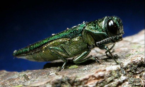The emerald ash borer continues to expand its range in eastern forests and urban areas.