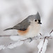 Tufted Titmouse by krisinct- Thanks for 15 Million views!