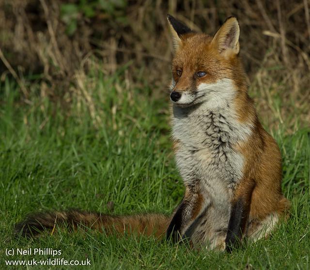 Red Fox-5
