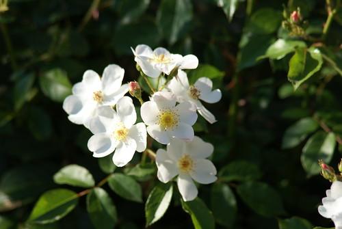 semplici rose
