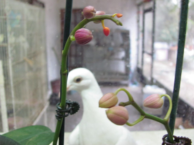 Mini orchid buds and pigeon