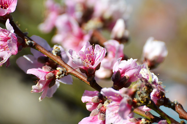 Peach Tree Blossom, North Tenerife