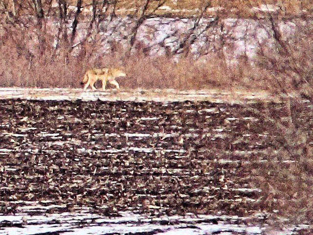 Coyote gives up chase 20130225