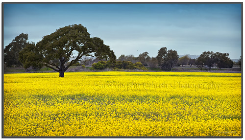 california panorama nature landscape mustard canon5d bluehour dreamland coyotehills naturallightphotography suvrangshughoshphotography suvghoshphotography canon70200f28liiusm