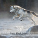 Gray Wolf Jumping Stream by Jerry & Barb Jividen