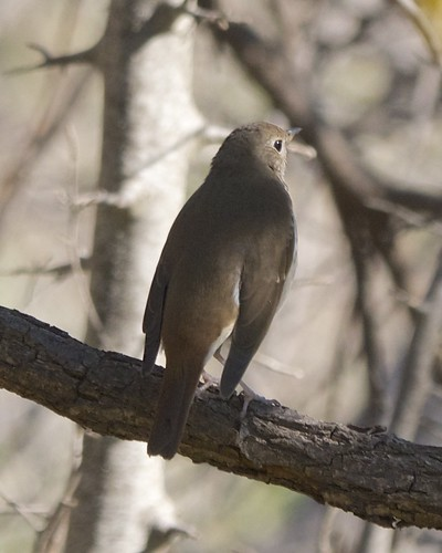 Hermit Thrush Back
