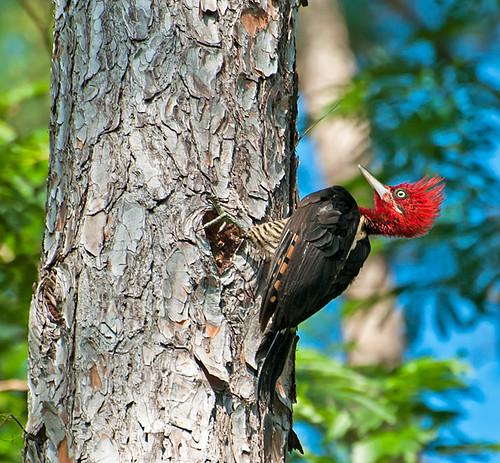 PICA-PAU-REI (Campephilus robustus ) by Dario Sanches