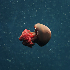 deep sea fish(0.0), jellyfish(0.0), organ(0.0), sea(1.0), red(1.0), marine biology(1.0), invertebrate(1.0), cnidaria(1.0), underwater(1.0),