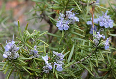 flower, rosemary, lavender, subshrub, wildflower, flora,