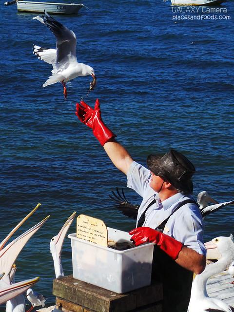 pelican feeding seagull