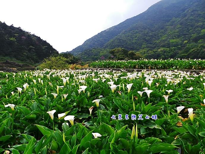 22 陽明山海芋節