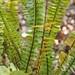 Garden Inventory: Sword Fern (Polystichum munitum) - 3