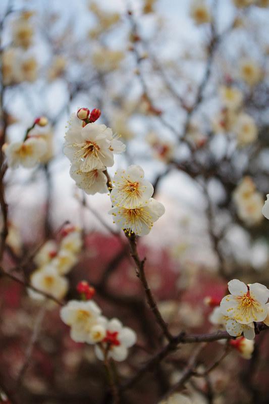 日本福岡-梅花梅花幾月開