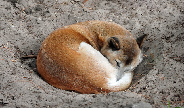New Guinea Singing Dog sleeping from Flickr via Wylio