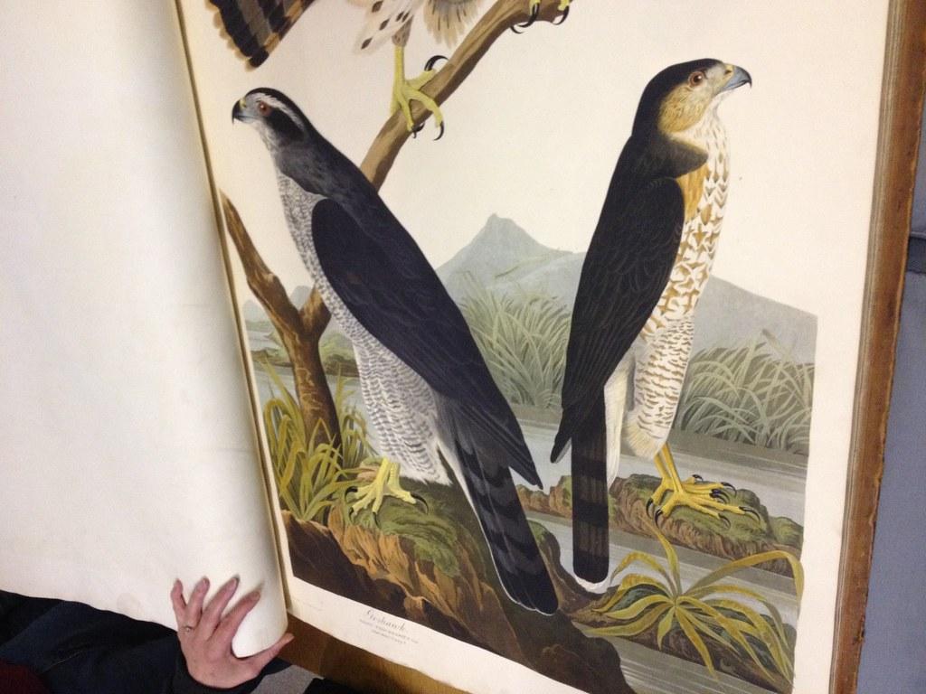 audubon hawks