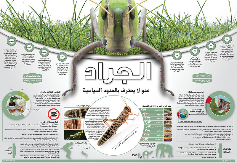Locusts, infographic by Amr Elsawy