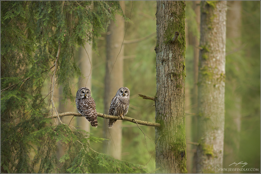 Barred Owl Pair in Habitat - Birding in BC Community
