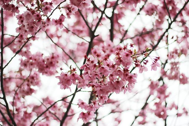 Sakura Cherry Blossoms in Oita, Japan - Flickr CC zaimoku_woodpile