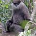 Purple-faced Leaf Monkey highland form (John Young)