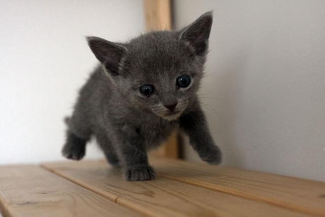 Russian Blue Kitten