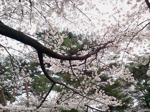 大宮公園の桜 4