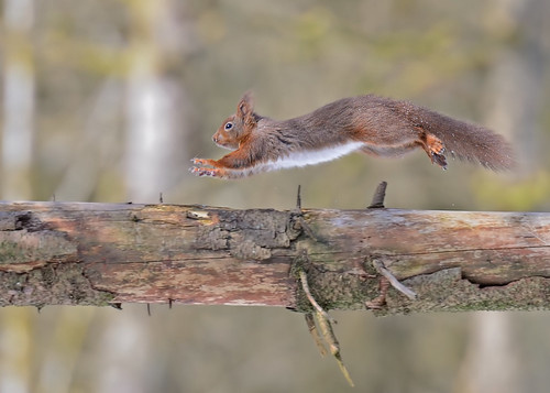 Flying Red Squirrel by Andy Pritchard - Barrowford