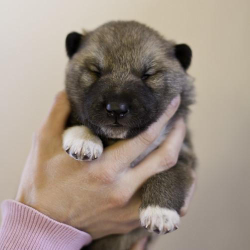 Ike-Kilbe-Pup3-Male(Day 13)-17