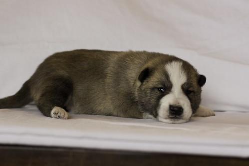Ike-Kilbe-Pup1-Male(Day 13)-11