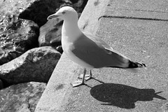 Sea Gull and Shadow